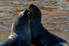 Antarctic-Mammals-18