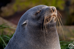 Antarctic-Mammals-24
