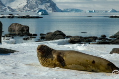 Southern elephant seal, Signy Island South Orkney Islands of Ant
