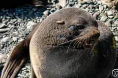 Antarctic-Mammals-10
