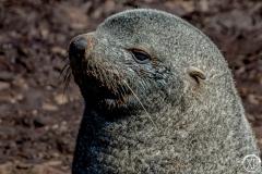 Antarctic-Mammals-17