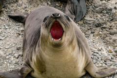 Antarctic-Mammals-4