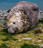 Antarctic-Mammals-5