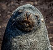 Antarctic-Mammals-16