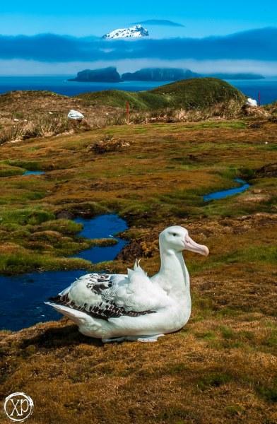 Wandering Albatross, Bird Island South Georgia