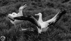 Antartic-Seabirds-7