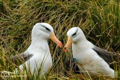 Antartic-Seabirds-9