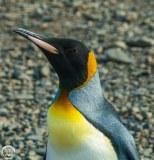 Antartic-Seabirds-30