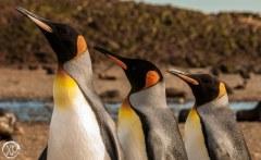 King Penguins, Bird Island South Georgia
