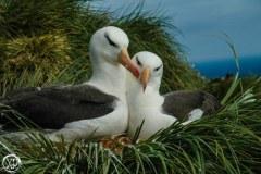 Antartic-Seabirds-35