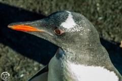Antartic-Seabirds-40